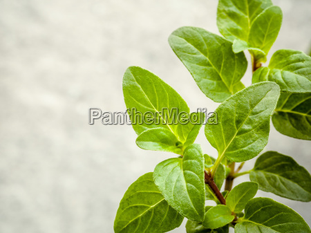 closeup oregano leaves from the herb