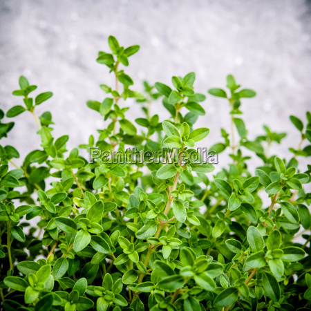 closeup lemon thyme leaves from the
