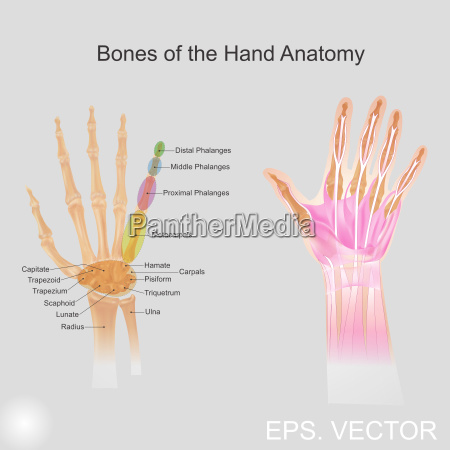 bone of the hand anatomy