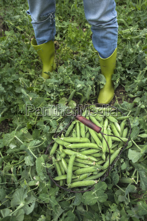 basket of harvested peapods
