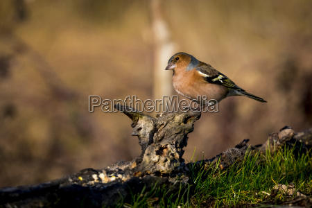 chaffinch perching auf totholz