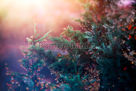 pine tree in sunset light