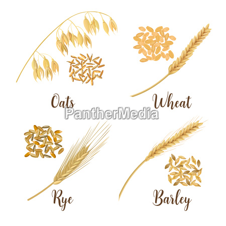 wheat barley oat and rye cereals