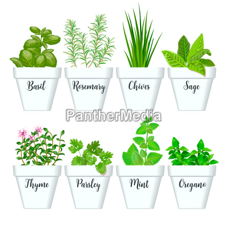 set of culinary herbs in white