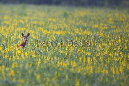 roe deer hidden in the flowers