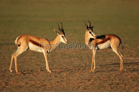 springbok-antilopen, im, natürlichen, lebensraum - 23407756