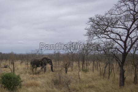 elefant in suedafrika