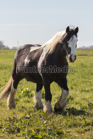 tinker in the pasture