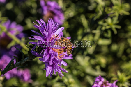 bee on violet flower on the