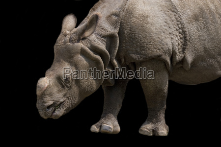 rhino on a black background