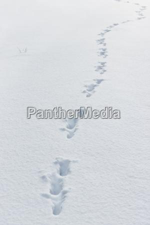 winter tier fussspur faehrte nachziehen schnee