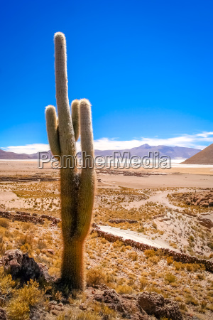 single cactus growing on a pampa