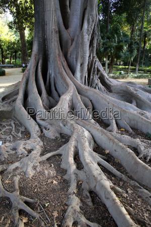 stamm und wurzeln des lianenbaum coussapoa
