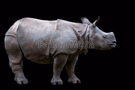 rhino on a black background