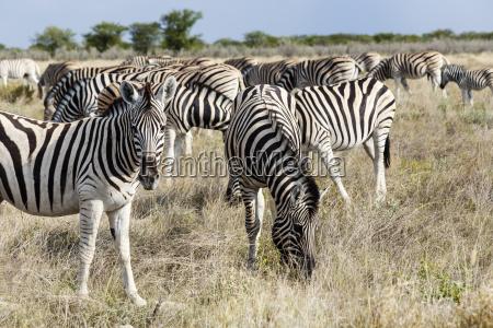 herde steppenzebras in etosha nationalpark namibia