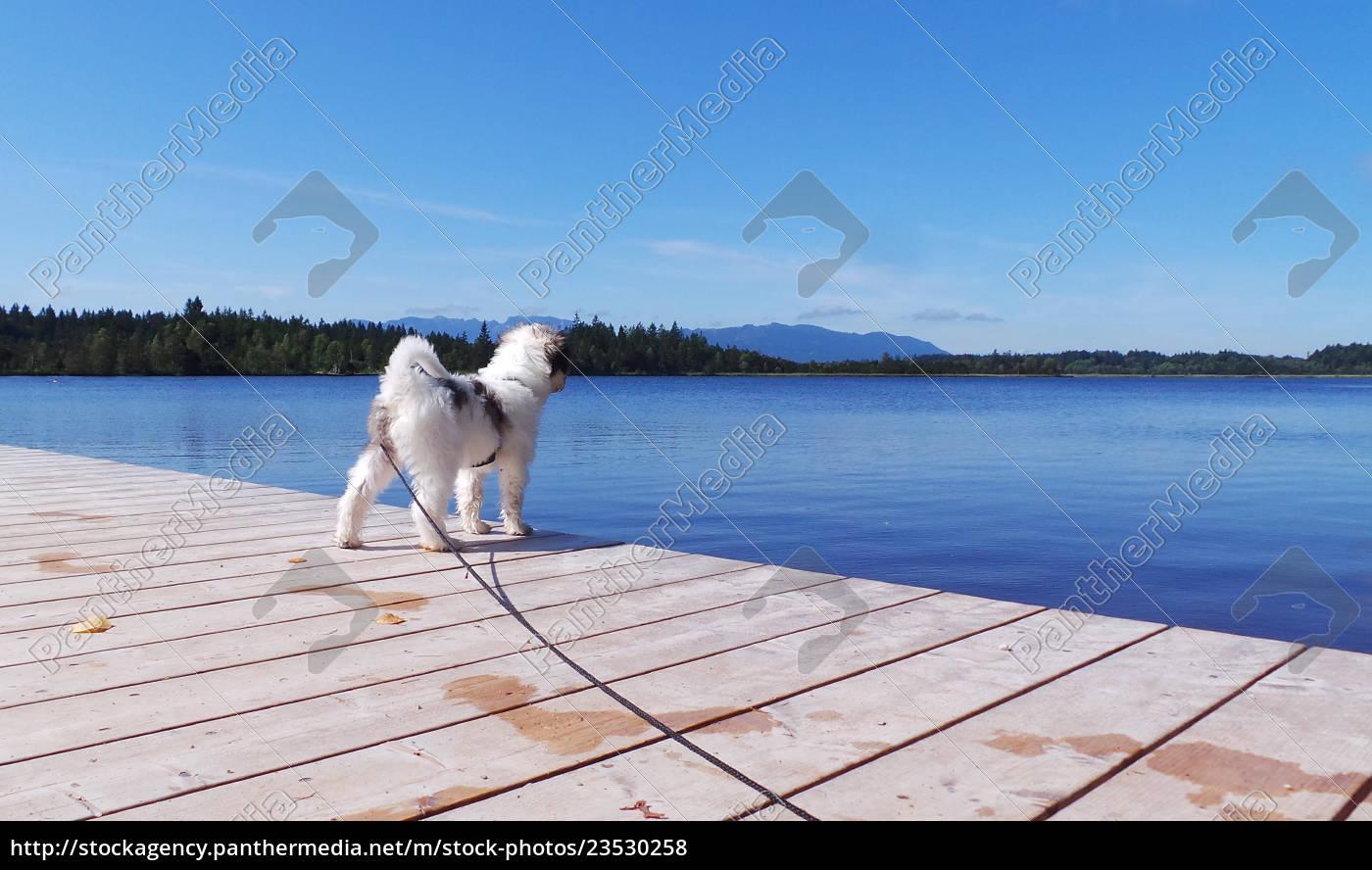 tibet, terrier, , welpe - 23530258