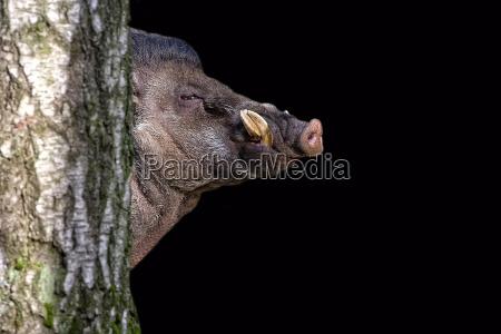 visayan warty pig on a black