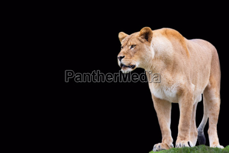lioness on a black background