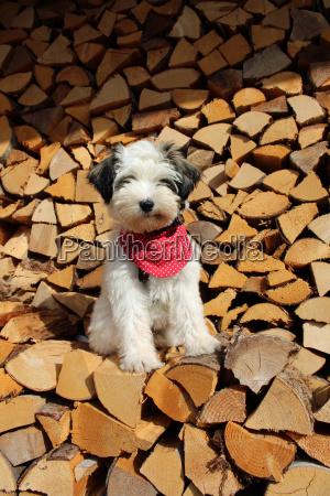 tibet terrier puppy