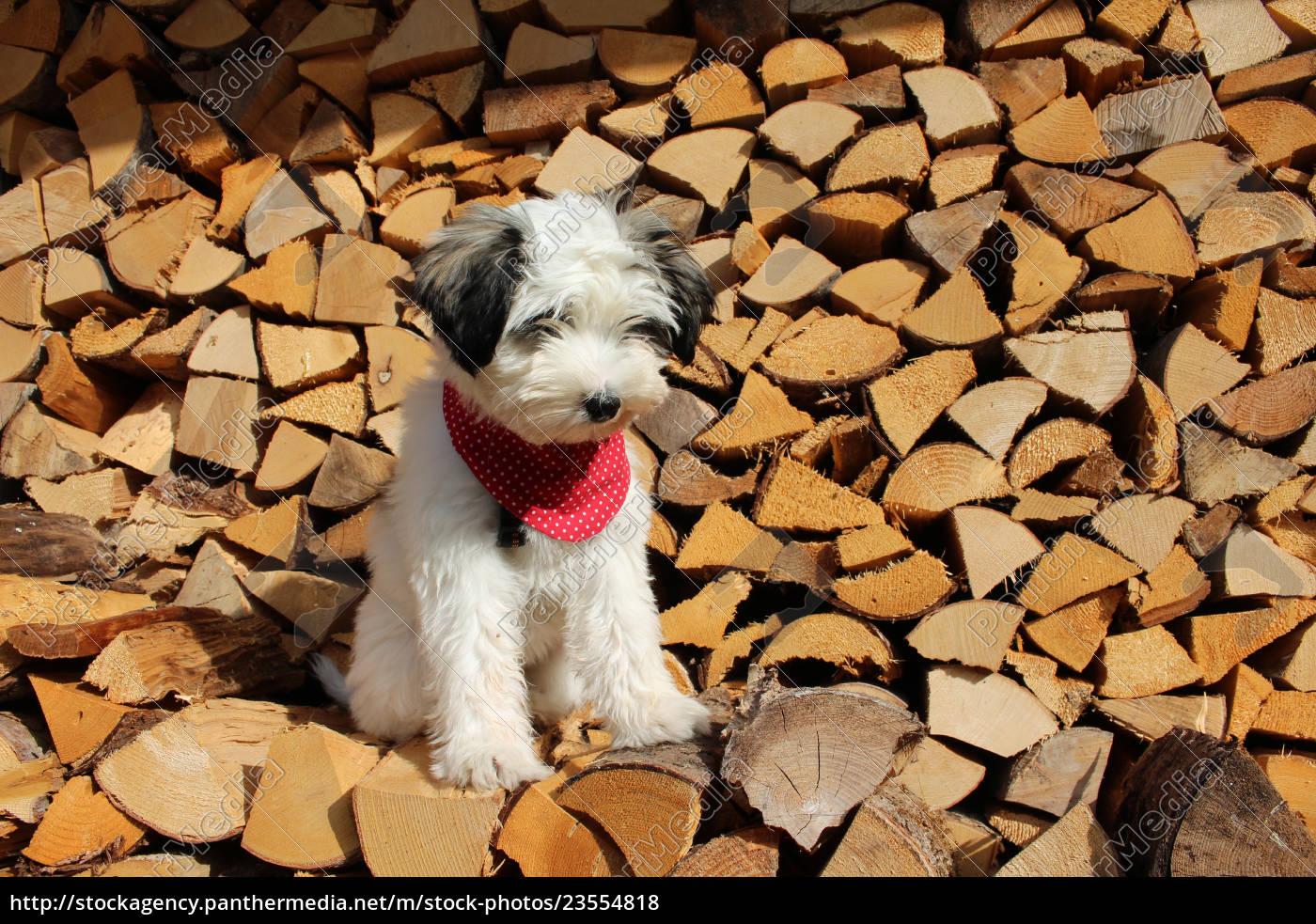 tibet, terrier, , welpe - 23554818