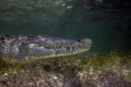 tier reptil krokodil mittelamerika zentralamerika unterwasser