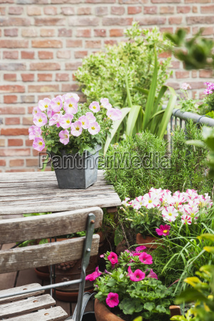 potted blossoming summer flowers and potted