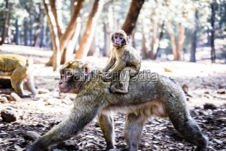 marocco portrait of young monkey riding