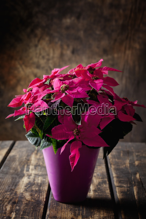 pink potted poinsettia on dark wood