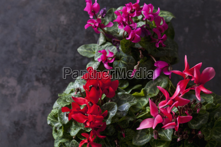red and pink cyclamen on dark