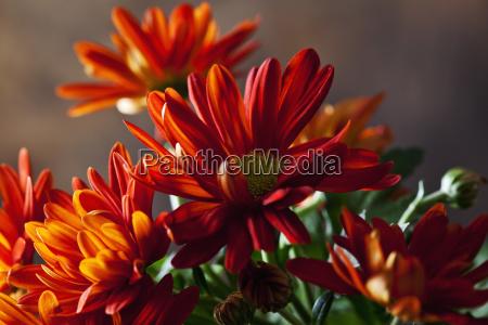 red chrysanthemum close up