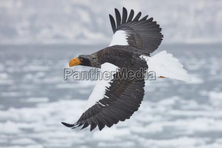 stellers seeadler haliaeetus pelagicus fliegend ueber