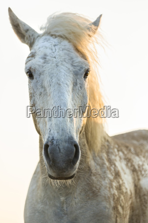 close up of white horse looking