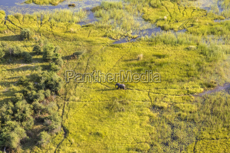 aerial view of african elephant walking