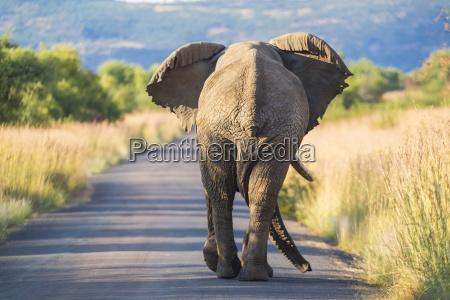 rear view of african elephant walking