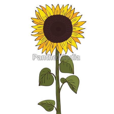helianthus oder sonnenblume isolieren