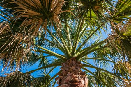 big palm tree and blue sky