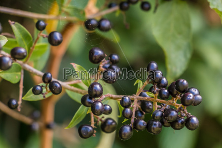 black berries and green leaves on
