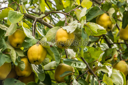 yellow quinces and green leaves on