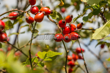 red rose hips and green leaves