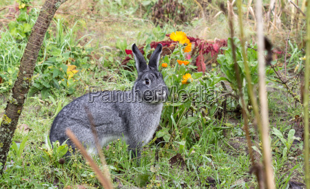 a cute gray rabbit sits in