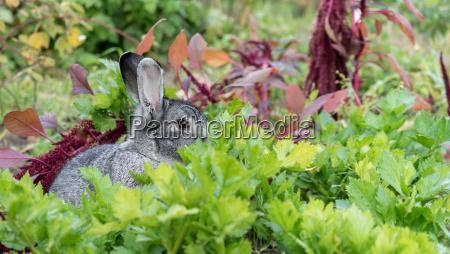 a adorable cute gray rabbit hides