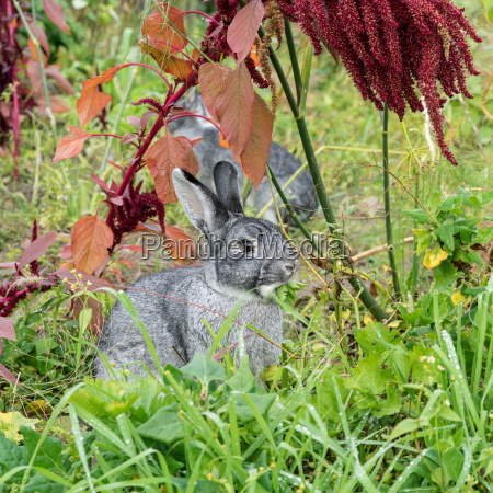 two gray cute rabbit sits in