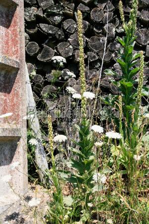 woodpile and yarrow flowers on backyard