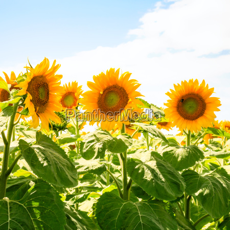 yellow sunflowers on field under blue