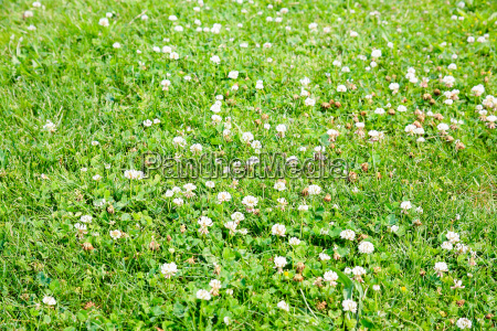 green meadow with white clover flowers