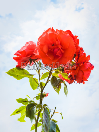 roses and blue sky with clouds