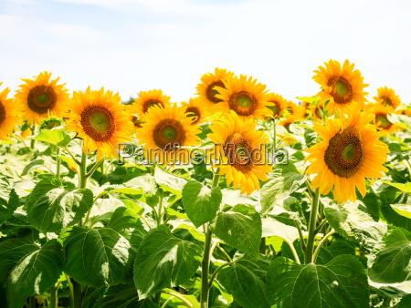 sonnenblumen unter blauem himmel im val