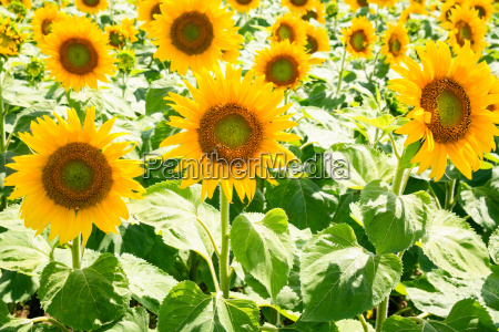 yellow sunflowers on field in val