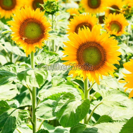yellow sunflower blooms on field in