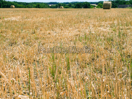 stalks on harvested field in val